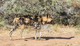 African Wild Dog 11 Royalty Free Stock Images