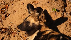 African wild dog. Relaxing in the evening sun Royalty Free Stock Photo