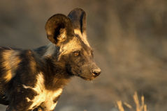 African Wild Dog. In afternoon light Royalty Free Stock Image
