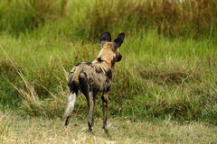 African Wild Dog Alert for Action Royalty Free Stock Photography