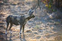 African Wild Dog alpha female Stock Image