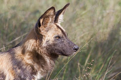 African Wild Dog alpha male royalty free stock photos