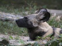 An African Wild Dog Lying Down stock image