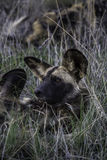 African Wild Dog. Also known as the Painted dog Stock Photos