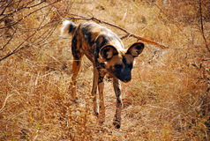African Wild Dog Approaching. Approaching African wild dog on a safari Stock Photos