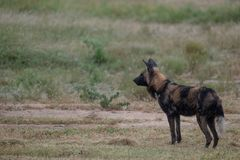 African wild dog belonging to a pack of rare African wild dogs, photographed at Sabi Sands Game Reserve, Kruger, South Africa. African wild dog standing stock photos