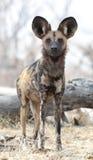 African wild dog. In  Botswana's Okavango  delta Royalty Free Stock Photos