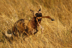 African Wild Dog carrying an Impala leg Royalty Free Stock Image