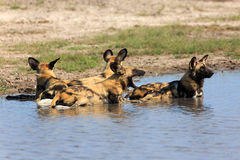 African wild dog. In the Chobe Nationalpark in Botswana Royalty Free Stock Photo