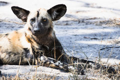 African wild dog - critically endangere Stock Image