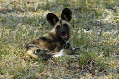 African Wild Dog Stock Photography