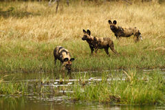 African Wild Dog Crossing Water Stock Image