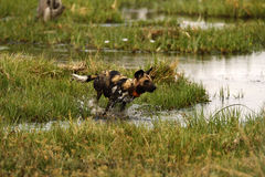 African Wild Dog Crossing Water Royalty Free Stock Image