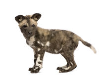 African wild dog cub (9 weeks) - Lycaon pictus Stock Photography