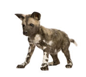 African wild dog cub (9 weeks) - Lycaon pictus Stock Images