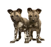 African wild dog cub (9 weeks) - Lycaon pictus Stock Image