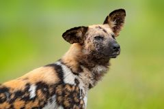 African wild dog, detail portrait with tip up ear, Okacango deta, Botswana, Africa. Dangerous spotted animal with big ears. Huntin royalty free stock photo