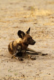 African Wild Dog Resting Royalty Free Stock Photos