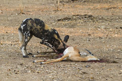 African Wild Dog eating an Impala. African Wild Dog eating a young male Impala Royalty Free Stock Image