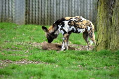 African wild dog freaked Stock Photography
