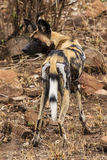 African wild dog. In Gonarezhou - Zimbabwe Stock Photography