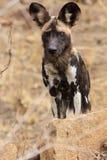 African wild dog. In Gonarezhou - Zimbabwe Stock Images