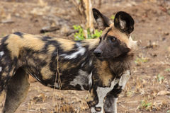 African wild dog. In Gonarezhou - Zimbabwe Royalty Free Stock Images