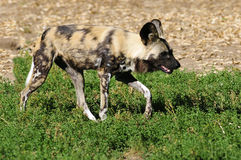 African Wild Dog on grass Stock Photos