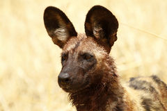 African Wild Dog Head Study Stock Images
