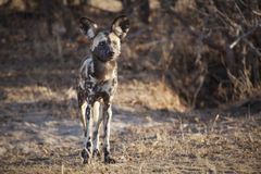African Wild Dog. On the hunt Royalty Free Stock Photos