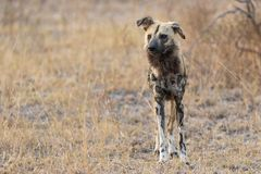African wild dog hunting. royalty free stock photo