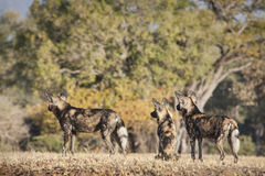 African Wild Dog hunting Royalty Free Stock Photography