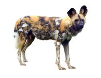 African wild dog isolated on white background Royalty Free Stock Photography