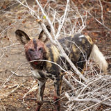 African wild dog after a kill Stock Photos