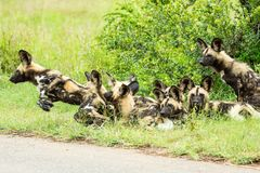 African Wild Dog Royalty Free Stock Photography