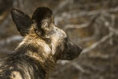 African wild dog in Kruger National park, South Africa royalty free stock photography