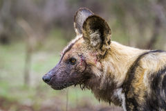 African wild dog in Kruger National park, South Africa Stock Image
