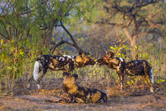 African wild dog in Kruger National park, South Africa Royalty Free Stock Images