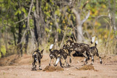 African wild dog in Kruger National park, South Africa Royalty Free Stock Photos