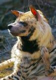 African Wild Dog Stock Photo