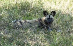 African wild dog. Laying in the grass in wild life safari park africa Royalty Free Stock Photography
