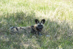 African wild dog Royalty Free Stock Image