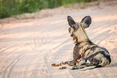 African wild dog laying in the sand in the Kruger National Park. Stock Images