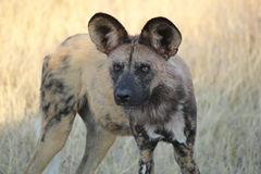 African Wild Dog. An African wild dog looks intently at either potential prey or a potential threat.  These animals, who live and hunt in large packs, were just Stock Photography