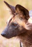 African Wild Dog (Lycaon pictus) Royalty Free Stock Image