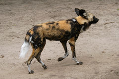 African wild dog. (Lycaon pictus Stock Photography