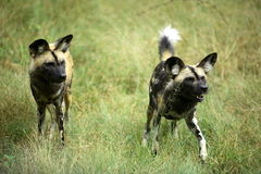African wild dog (lycaon pictus) Stock Images