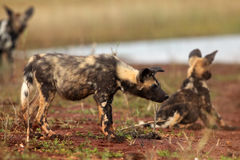 The African wild dog & x28;Lycaon pictus& x29; also knows as African huntin. G or African paainted dog or painted wolf,puppies on the shore of water royalty free stock images