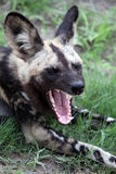 African Wild Dog (Lycaon pictus) calling. South Africa Stock Image