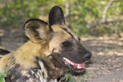 African wild dog (Lycaon pictus) Royalty Free Stock Images